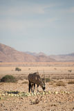 Oryx karmienie na pustynnych melonach Obrazy Royalty Free