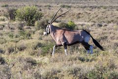 Oryx in Karoo NP, South Africa Royalty Free Stock Images
