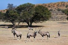 Oryx in Kgalagadi royalty-vrije stock foto