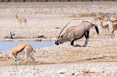 Oryx klęczenie pić w Etosha parku narodowym, Namibia Zdjęcie Royalty Free