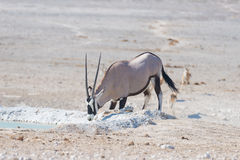 Oryx kneeling and drinking from waterhole in daylight. Wildlife Safari in Etosha National Park, the main travel destination in Nam Royalty Free Stock Photography
