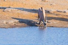 Oryx kneeling and drinking from waterhole in daylight. Wildlife Safari in Etosha National Park, the main travel destination in Nam Royalty Free Stock Photos