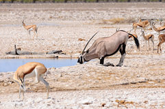 Oryx kneeling to drink in Etosha National Park, Namibia Royalty Free Stock Photo
