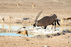 Oryx kneeling at waterhole with jackal. Oryx antelope kneeling at a waterhole together with a jackal an some Impalas in Etosha National Park, Namibia stock photos