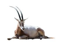 Oryx-Krummsäbel Lizenzfreie Stockfotos