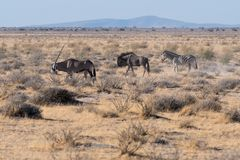 An oryx leads a wildebeest and zebra in Etosha N.P. stock photography