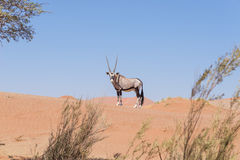 Oryx looking at camera in the colorful Namib desert of the majestic Namib Naukluft National Park, best travel destination in Namib Stock Photo
