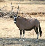 Oryx in Namibië stock foto