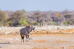 Oryx in Namibia, Africa. Royalty Free Stock Image