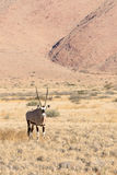 Oryx in Namibia, Africa Stock Photos