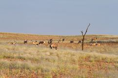 Oryx, Namibia Royalty Free Stock Photo