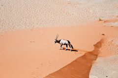 Oryx in Namibia Stock Photo