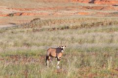 Oryx, Namibia Royalty Free Stock Photography