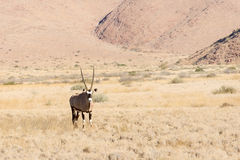 Oryx in Namibia Stock Images