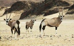 Oryx Stock Photos