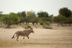 Oryx Royalty Free Stock Photo