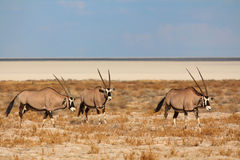 Oryx in Nationalpark Etosha Lizenzfreies Stockbild