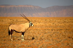 Oryx Stock Images