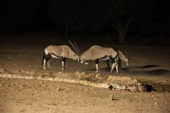 Oryx Night Fight. Two Oryx bulls establishing dominance at a waterhole during the night. Kgalagadi Trans Frontier Park. South Africa royalty free stock photography