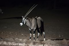 Oryx at night 3 stock images