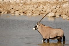 Oryx no waterhole Imagem de Stock Royalty Free