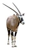 Oryx, odizolowywający Obraz Stock