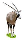 Oryx op grassÂcirkel Stock Fotografie