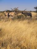 Oryx. In the Central Kalahari Game Reserve, Botswana Stock Photos