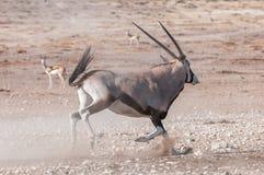 An Oryx, Oryx gazella, also called a gemsbok, running Stock Photo