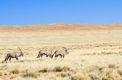 Oryx in a desert landscape Royalty Free Stock Photography