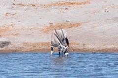 An oryx, Oryx gazella, drinking water in a waterhole Royalty Free Stock Photo