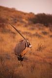 Oryx Oryx gazella. Oryx / Gemsbok Oryx gazella photographed in the Kgaligadi Transfrontier Park in Southern Africa IMG 5093 Stock Images