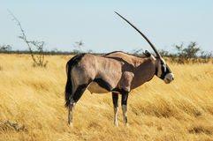 Oryx (Oryx) in the savanna, Namibia Royalty Free Stock Photos