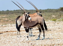 Oryx. Pair of oryxes in Etosha National Park, Namibia Royalty Free Stock Image