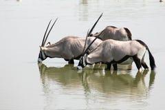 Oryx Pić Fotografia Stock