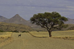 Oryx pod drzewem Fotografia Stock