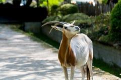 Oryx antelope posing on grey backgound Royalty Free Stock Photography