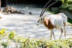 Oryx antelope posing on grey backgound Stock Photography