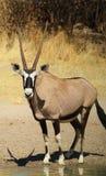 Oryx - réflexions de Gemsbuck superbes Photographie stock