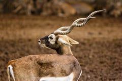Oryx róg Fotografia Stock