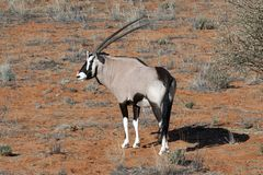 Oryx on a red dune Stock Photos