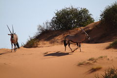 Oryx. In Red Sand Of the Kalahari Stock Photography