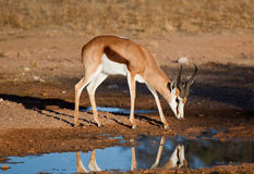 Oryx reflecting in water Stock Images