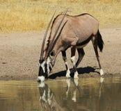 Oryx - reflexões do Gemsbuck super Imagem de Stock