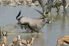 Oryx running. Through waterhole, Namibia Royalty Free Stock Photography