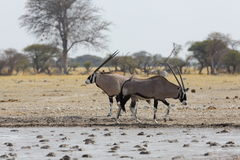 Oryx's at the waterhole in Nxai Pan NP Royalty Free Stock Photography