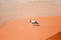 Oryx on sand Stock Photography