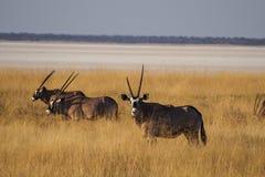 Oryx in the savannah of Etosha National Park in Namibia stock image