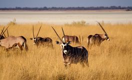 Oryx in the savannah of Etosha National Park in Namibia. Africa royalty free stock images