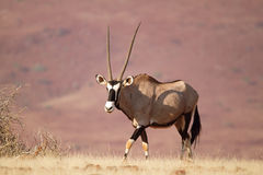 Oryx Royalty Free Stock Images